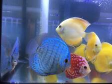 Blue Turquoise Discus - Beautiful Live Freshwater Tropical Fish