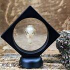 f20b Taxidermy Oddities Curiosities Rousettus xLg Bat Skull Floating display