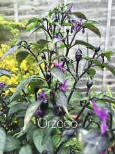 HOT CHILLI PEPPER - ORZOCO - 10 SEEDS