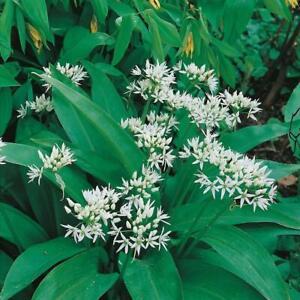 Ramsons Wild Garlic 400 Wild Flower Seeds 'Allium Ursinum'
