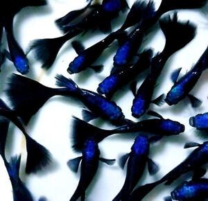1 Pair -Blue Tarzan - Live Guppy Fish - High Quality- Grade A+