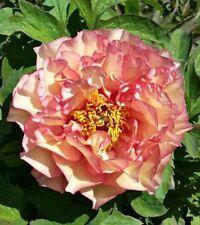 """1x Paeonia """" SUNRISE """" Tree Peony Rose ( Peonies / Paeonie ) RARE peonie"""