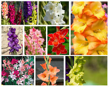 More details for 10 gladioli summer flowering bulbs easy to grow gladiolus flower perennial plant