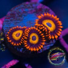 New listing Bebb - Wysiwyg Live Coral Frag- Top Tier Aquatics