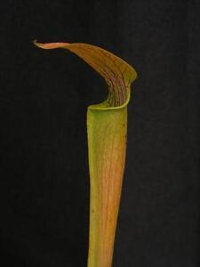 Carnivorous Sarracenia alata Long Lidded Form