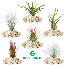 Tillandsia Mix - 6 Plants - Indoor Air Plant for House Vivarium Terrarium
