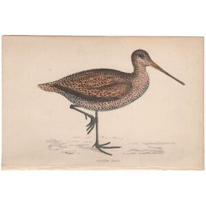 Morris Birds antique 1863 hand-colored engraving print Pl 233 Sabine's Snipe