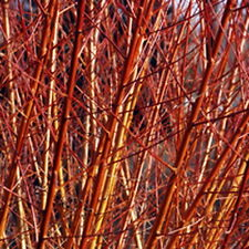Willow Salix Flame 'Red' Cuttings (8)+ 2 FREE Ornamental Brilliant Orange Red