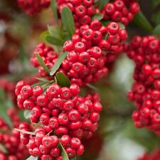 Evergreen Red Shrub Firethorn ''PYRACANTHA'' 30-Finest Seeds*Artificial Fence*UK