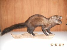 Fisher Taxidermy Mount for Sale ,skull,hide,fur