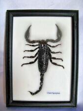 Giant Scorpion Palamnaeus fulvipes - Echter exotischer Skorpion Schaukasten Holz