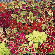 New listing 50Pcs Mix Colors Blumei Seeds Home Garden Colorful Flower Leaves Plant Decor L7S