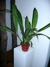 Coelogyne Species dayanum Duft XXL Orchidee Orchideen