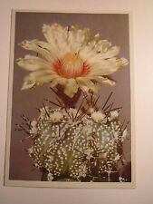 Étoile-Cactus-Astrophytum Hybr./AK