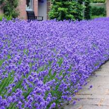Lavender Munstead 6 Large Plug Plants