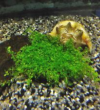 Zierliches Perlkraut - im Topf, Wasserpflanzen, Aquariumpflanzen, Vordergrund