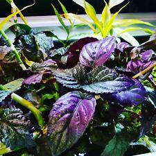 Hemigraphis Colorata Bunch Purple B2G1 Live Aquarium Plants Decorations Beginner