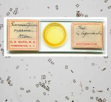 D.B. Ward Diatoms Grammatophora marina Microscope Slide