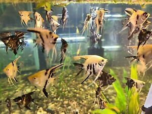 Live Assorted Koi/Marble Angelfish!!! *PLS READ DESCR*