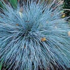 100+ BLUE FESCUE seeds Fesnea Glauca Ornamental Grass Seeds USA Seller