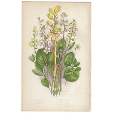 Anne Pratt antique 1st ed 1873 botanical print, Pl 135 Moneses, Winter Green