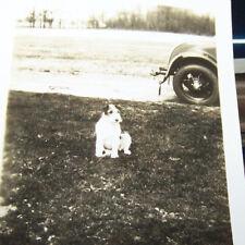 Rare Vintage Dog Photograph Circa 1920-50s Wire Hair Fox Terrier Classic Car