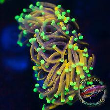 New listing Koopas Torch - Wysiwyg Live Coral Frag- Top Tier Aquatics