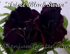 "ADENIUM OBESUM DESERT ROSE DOUBLE / TRIPLE "" BLACK SWAN "" 1 GRAFTED PLANT NEW"