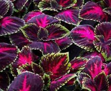 Kong Red Giant Coleus erbe 20 semi giardino Zanzara Repellente pianta fiore raro