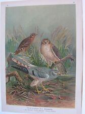 1905 ALBANELLA MINORE Uccelli Naumann Circus pygargus Ornitologia Ornithology
