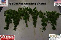 6   Creeping Charlie bunch plants Easy Aquarium aquascaping planted tank