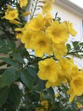 *30 Seeds* Esperanza, Yellow Bells, Yellow Elderberry