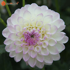 White Dahlia Flower Seeds Charming Flower Seeds Bonsai Plants Garden 100Pcs
