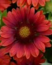 5 Gaillardia Mesa Red Live Plants Plugs Garden Home Patio Planters
