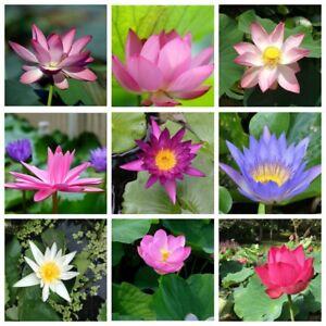 5x Lotus Seeds Flowers Plants Nelumbo Perennials Perennials Nature Garden Beauty