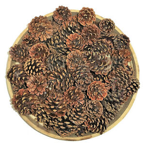50 Pinecone Kiefernzapfen Decor Crafting Autumn Christmas 2 3/8-3 1/8in