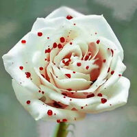 200pcs White Drop Blood Rose Flower Seeds Garden Beautiful Plant Bonsai Potted