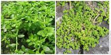 100pcs Herniaria Glabra Herb Seeds Mixed Green Rough Carpet Cover Bonsai Plant