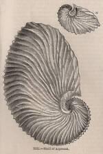 Antigüedad 1845 impresión sepia Pulpo Argonauta Kraken Calamar Nautilus Ocean 2