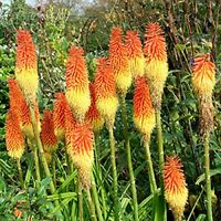 Red Hot Poker Seed  Red & Yellow Dutch Hybrid Evergreen Succulent Drought OK