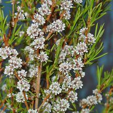 AGONIS theiformis Summer Snowflakes Seeds (N 207)