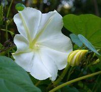 White Morning Glory Seeds, Moonflower Vine, Variety Sizes, FREE SHIPPING