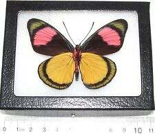 REAL YELLOW PINK PERUVIAN BATESIA HYPOCHLORA VERSO FRAMED BUTTERFLY INSECT