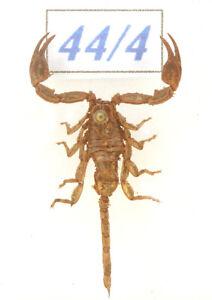 44-4 old scorpion