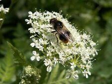 20 Sweet Cicely Myrrhis Odorata Flower Herb Seeds +Gift