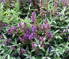 SAGE GARDEN Salvia Officinalis - 500 Bulk Seeds