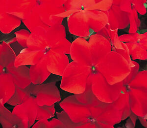 Red Impatiens Seeds, Scarlet Impatiens Seed, Non-Gmo Heirloom Annual Flower 50ct