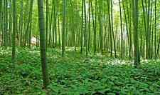 Bamboo Forest-13.5'wide by 8'high