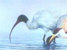 SACRED IBIS BIRD - signed original limited edition Giclee art print