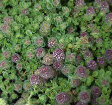 CREEPING BERGAMOT THYME edible flowering  culinary herb plant in 100mm pot